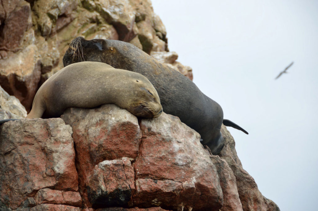 Isole Ballestas leoni marini