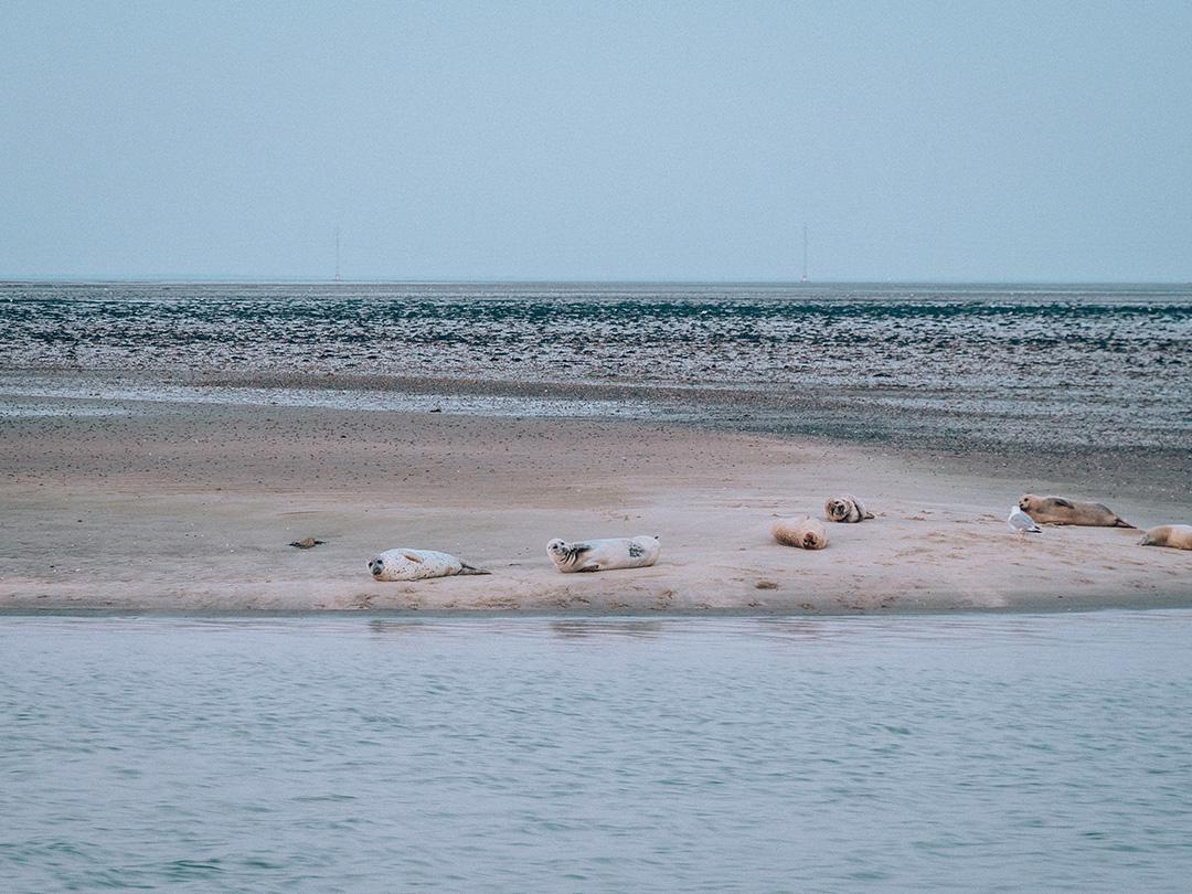 Isola Fano foche Danimarca